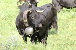 Hérens koe uit Wallis1280px-Eringercow