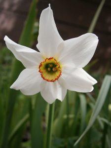 800px-Narcissus_poeticus_'Recurvus'06